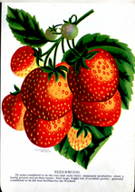 drawing of strawberries