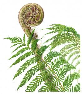 "Beverly Allen, ""Cyathea australis"""