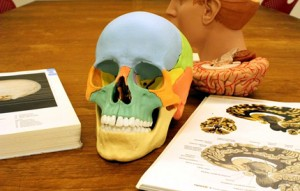 Skull and brain anatomical models at the Bio-Medical Library.