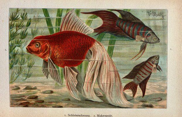 Bade, E (Ernst). 1896. Das Süsswasser-Aquarium.: Geschichte, Flora Und Fauna Des Süsswasser-Aquariums, Seine Anlage Und Pflege. Berlin: F. Pfenningstorff.
