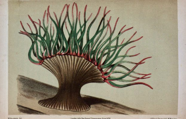 Tugwell, George. 1856. A Manual of the Sea-Anemones Commonly Found on the English Coast. London: J. Van Voorst.