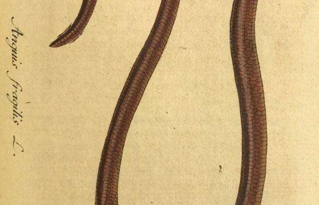 Blind-worm = Slowworm (Anguis fragilis)