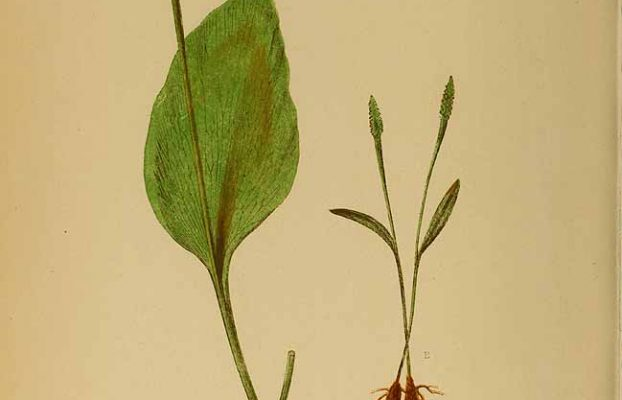 Adders fork = Least Adder's-tongue (Ophioglossum lusitanicum L.). From Ferns : British and exotic (1856).