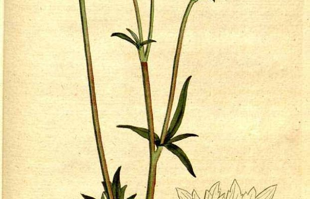 Toe of frog = Buttercup (Ranunculus acris L.). From The Botanical magazine, or, Flower garden displayed Vol. 6 (1792).