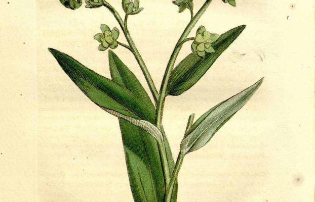 Tongue of dog = Gypsyflower from the Genus Hound's Tounge (Cynoglossum officinale L.). From Medical Botany, Vol 2. (1810).
