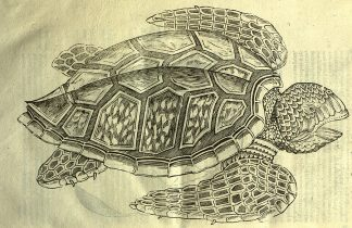 Turtle image from Ulisse Aldrovandi, De quadrupedib' digitatis viparis libri tres: et De quadrupedib' digitatis oviparis libri duo. Bonan: N. Tebaldinum, 1645.