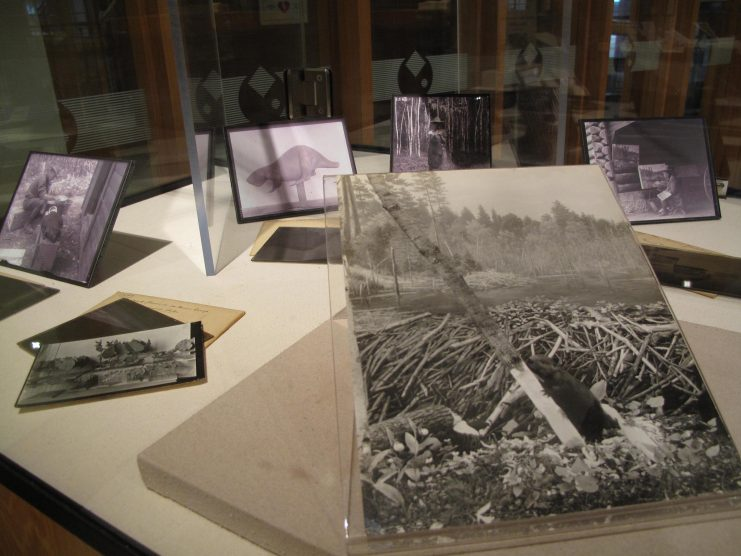 Selected photographs depicting the different stages of production of the beaver diorama. Image from the Exploring Minnesota's Natural History exhibit at Elmer L. Andersen Library, 2015.