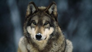 Face front photograph of a gray wolf. head only