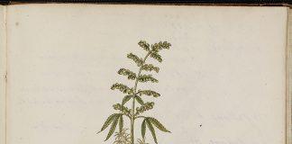 Botanical illustration of the cannabis plant.