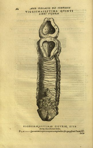 Illustration of female reproductive system from De Humani Corporis Fabrica by Andreus Vesalius (1543).