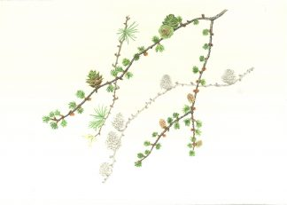 Japanese Larch illustration by Judith Spiegel