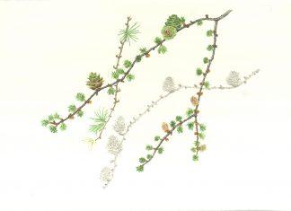 Japanese Larch illustration by Judith Spiegel