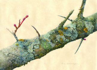 Hawthorn Branch with Lichen, watercolor & gouache on vellum, c2017, Linda Medved Lufkin