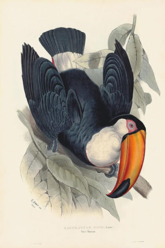 Toucan illustration from the Andersen Horticultural Library.