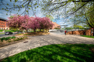 Two people walking towards blossoming cherry tree on the St. Paul campus on a sunny day.