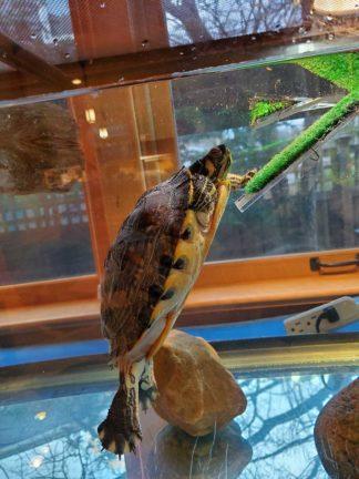 Leonard the turtle