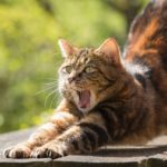 A tortoise shell cat stretching and yawning