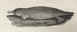 Bewick platypus illustration from the Andersen Horticultural Library