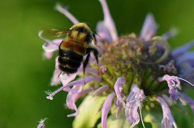 Rusty Patched Bumble Bee by USFWS, Midwest Region licensed under CC BY 2.0.