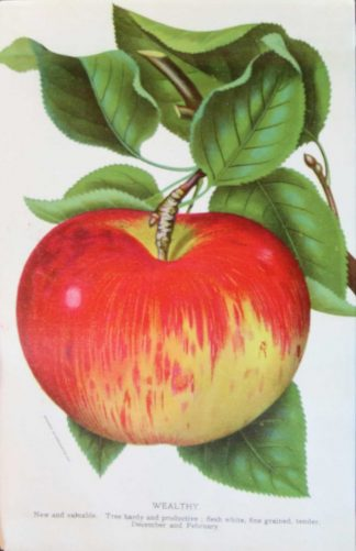 The Wealthy Apple